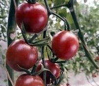 トマトを10倍楽しむンデス