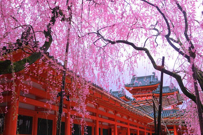 3,200円で行ける! 春の京都3大桜ツアー